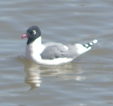 Franklin's Gull 4_25_2013